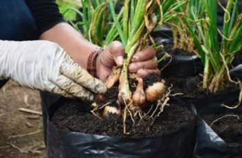 Cara Menanam Bawang Putih Dalam Polybag